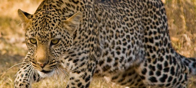 Save Our Leopards